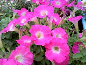 7月22日の花「Petunia」